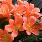 Clivia are blooming!